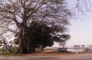 +Pamatný strom v Batapuru.jpg